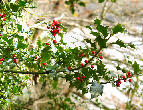 holly-1_w_500px