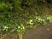 primroses_lindagordon_150402_004