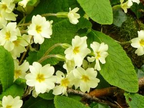primroses_lindagordon_150402_008