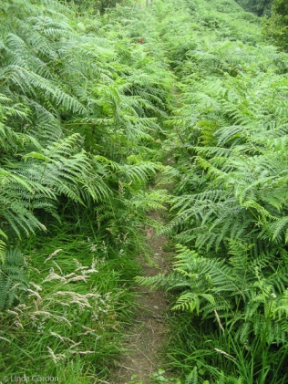 I pushed my way through huge ferns, to find my way back to Bucks Mills.
