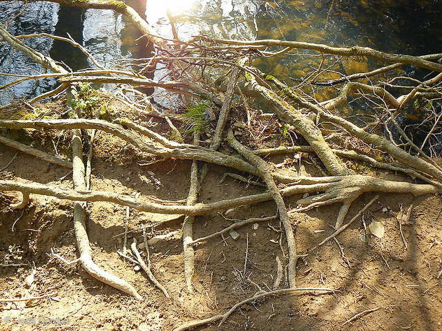 exposed roots after storm has washed mud banks away