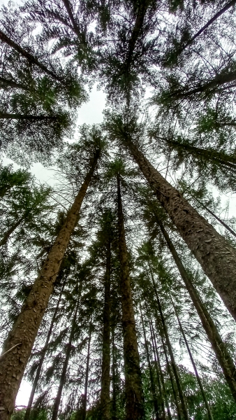 Looking upwards to the tree tops and the light from the sky.
